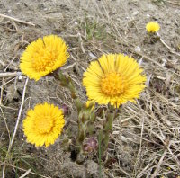 Tussilago